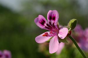 Pelargonium graveolens flower water