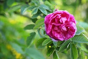 Rosa damascena flower water