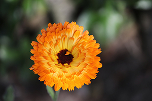 calendula flower water
