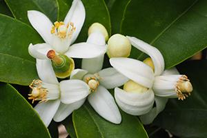 citrus aurantium flower water