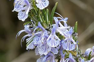 rosmarinus officinalis flower water