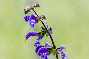 sage flower water
