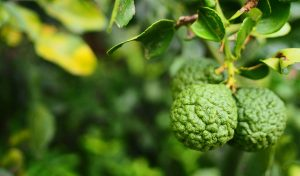 """Read more about the article Bergamot essential oil: history, aroma and attributes of the """"green gold of Calabria"""""""