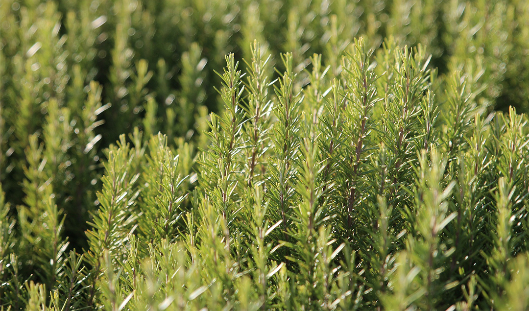 Read more about the article Rosemary essential oil: history, features and benefits