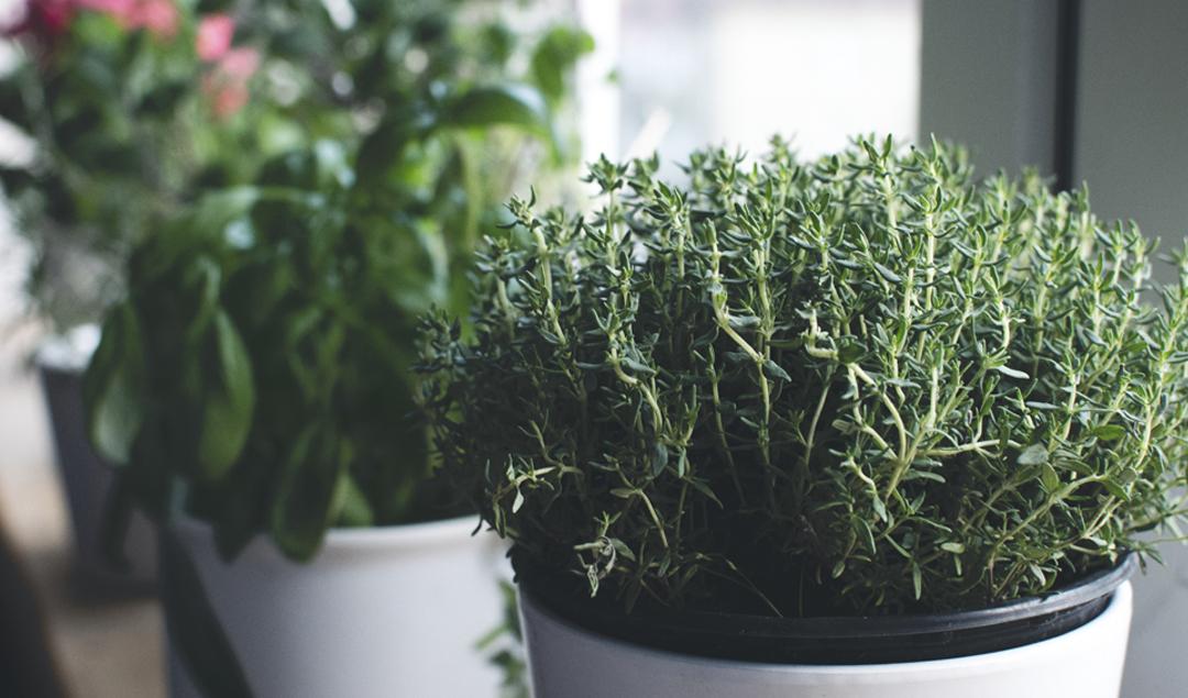 Thyme essential oil: a 100% Mediterranean essence
